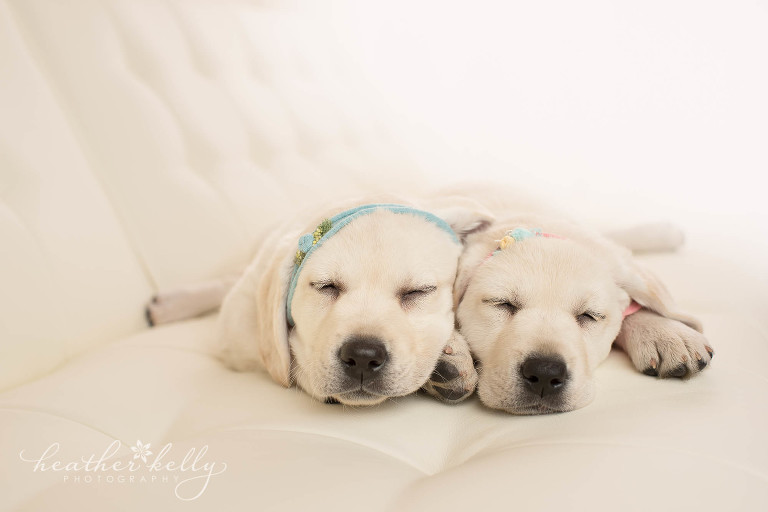 newborn puppy photography ct. service therapy dogs