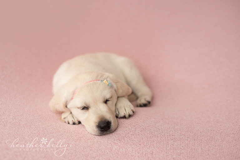 ct newborn puppy photography. psychiatric service dogs in training