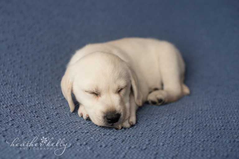 newborn puppy photography. ct service therapy dogs